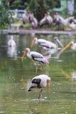Painted stork bird. Close-up Stock Photos
