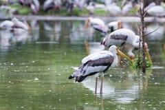 Painted stork bird. Close-up Stock Photography