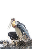 Painted stork bird. Close-up Stock Images