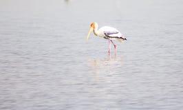 Painted stork Bird. Daytime migratory tropical Stock Image