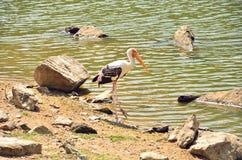 Painted stork bird. Feeding on nature Stock Images