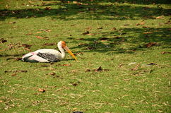 Painted stork bird Stock Image