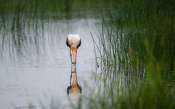 Painted Stork Bird with Fish. Caught from the river Stock Image