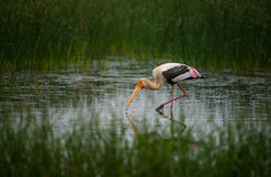 Painted Stork Bird with Fish. In water Stock Photography