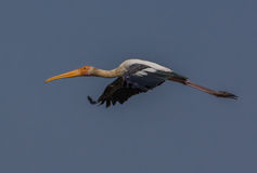 A Painted Stork bird. In flight Stock Images