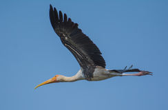 A Painted Stork bird. In flight Stock Photography