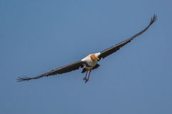 A Painted Stork bird. In flight Royalty Free Stock Images