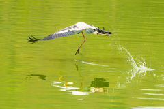 The Painted Stork bird flying. And jump on the pond Royalty Free Stock Images