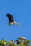 Painted Stork bird flying down. With blue sky background Royalty Free Stock Photo