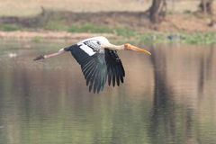 Painted stork. Bird flying over the water of pond. bird colour are beautiful. head and beak are orange leg are pink. body colour are white and black and white Stock Image