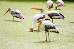Painted stork bird. Group of Painted stork bird in a lake Royalty Free Stock Image