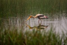 Painted Stork Bird. A painted stork bird hunting in a water stream in the morning Stock Photo