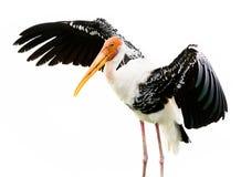 Painted stork bird. Isolated on white background Royalty Free Stock Image