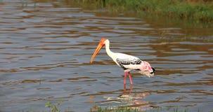 Painted stork Stock Photos