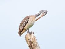 Painted stork bird. Mycteria leucocephala Stock Images
