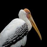 Painted stork bird. Or mycteria leucocephala Stock Photography
