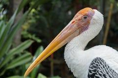 Painted Stork Bird (Mycteria leucocephala). Closeup Stock Image
