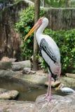 Painted Stork Bird (Mycteria leucocephala). Full length Royalty Free Stock Images