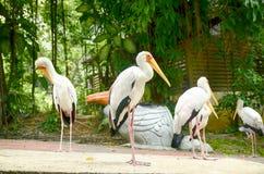 Painted stork Bird(Mycteria leucocephala) at Kuala Lumpur Bird Park, Malaysia. Blurred and selective focus image of Painted stork Bird(Mycteria Royalty Free Stock Photos