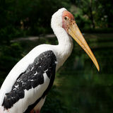 Painted stork bird or mycteria leucocephala. On nature background Stock Image