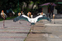 Painted Stork Bird (Mycteria leucocephala) with spread wings Stock Image