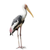 Painted stork bird or mycteria leucocephala on white background Royalty Free Stock Photos