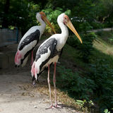 Painted stork bird or mycteria leucocephala. In the zoo Royalty Free Stock Photos