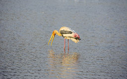 Painted stork bird with open beak. In pond Royalty Free Stock Photography