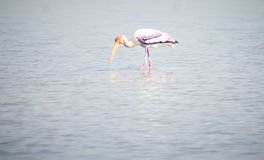 Painted stork Bird outdoor. Daytime migratory tropical Royalty Free Stock Image
