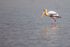 Painted stork Bird outdoor. Daytime migratory tropical Royalty Free Stock Photo