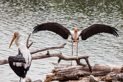 Painted Stork bird with outstretched wings. Painted Stork (Mycteria leucocephala) bird with outstretched wings Royalty Free Stock Photos