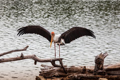 Painted Stork bird with outstretched wings. Painted Stork (Mycteria leucocephala) bird with outstretched wings Stock Photos