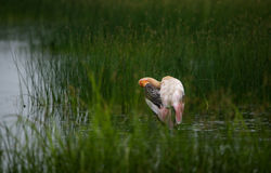 Painted Stork Bird in Paddy Field. Painted Stork Bird in water near paddy fields Royalty Free Stock Images