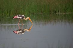 Painted Stork Bird Royalty Free Stock Photography