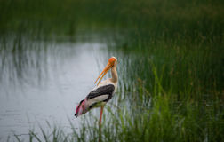 Painted Stork Bird in river. Painted Stork Bird in the river near a paddy field Stock Image
