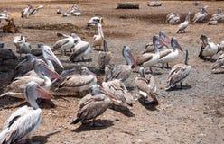 Painted stork bird at safari. Group of painted stork bird at safari Royalty Free Stock Photography