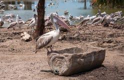 Painted stork bird at safari. Group of painted stork bird at safari Stock Images