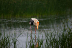 Painted Stork Bird. A Painted stork bird in a shallow water stream Stock Image