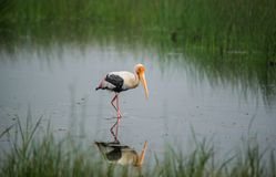 Painted Stork Bird. In a shallow water stream in the morning Stock Image