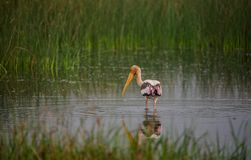 Painted Stork Bird in water. Painted Stork bird in a shallow water stream near paddy field in the morning Royalty Free Stock Image