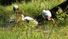 Painted stork bird. Sitting on a tree Royalty Free Stock Photo