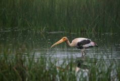 Painted Stork Bird with Fish. Painted Stork bird with a small fish it just caught from the water Stock Photos