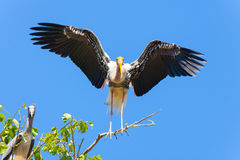 The Painted Stork bird is spread her wing. On her home Royalty Free Stock Photos