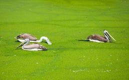 Painted stork bird in swamp. At safari of Thailand Royalty Free Stock Image
