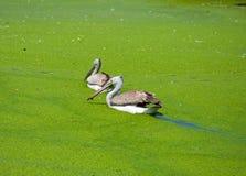 Painted stork bird in swamp. Painted stork bird in swamp at safari of Thailand Stock Photo