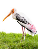 Painted stork bird. In Thailand Royalty Free Stock Photos