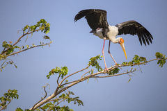 Painted Stork bird. On the tree top Royalty Free Stock Image
