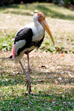 Painted Stork Bird Walking On Green Lawn Royalty Free Stock Photo