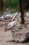 Painted stork bird at zoo. Painted stork bird at safari Royalty Free Stock Photos