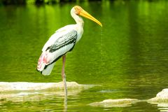 Painted stork drinking water or dripping water from its beak stock image